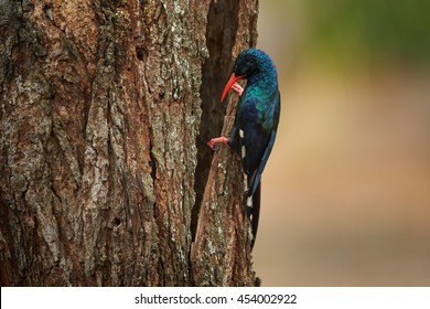 Colorful african birds, Green Wood-hoopoe, Phoeniculus purpureus, adult,  on trunk next to nest hole. South Africa.