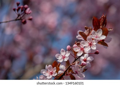 Colorful almond blossoms