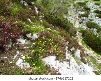 Colorful alpine garden with yellow flowers growing between pink blooming winter heath, winter flowering heather, spring heath, alpine heath (Erica carnea) plants