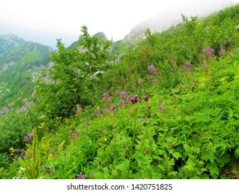 Colorful alpine meadow full of tall blooming  pink alpine blue-sow-thistle (Cicerbita alpina)  and yellow flowers with a mountain ridge in the back at Crna prst in Julian alps in Slovenia - Shutterstock ID 1420751825