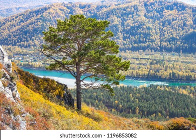 Colorful Altai landscape with a lonely pine. A view of the river Katun. Slender pine tree on the background of turquoise Katun.
