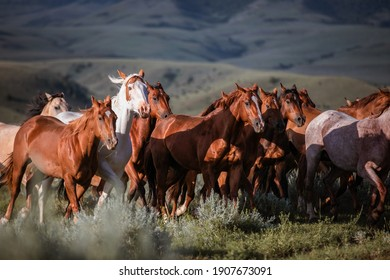 Colorful American Quarter horse ranch horse her galloping on the range in the Pryor Mountains in Montana