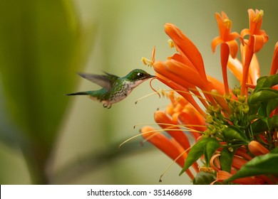 Colorful Andean Emerald Amazilia franciae hummingbird feeding from cluster of Pyrostegia orange trumpet flowers. Green and yellow blurred background