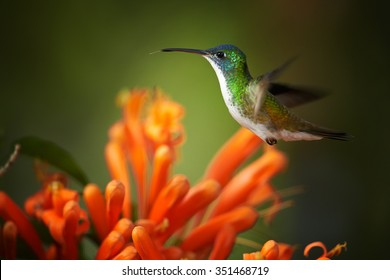 Colorful Andean Emerald Amazilia franciae hummingbird hovering next to cluster of Pyrostegia orange trumpet flowers. Dark green and yellow blurred background
