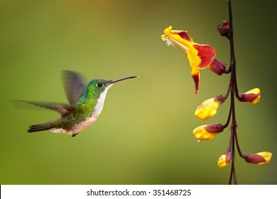 Colorful Andean Emerald Amazilia franciae hummingbird hovering next to cluster of yellow flowers. Green and yellow blurred background