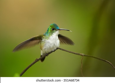 Colorful Andean Emerald Amazilia franciae hummingbird perched on twig with outstretched wings. Dark green and yellow blurred background