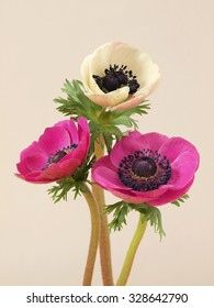 Colorful anemone flowers