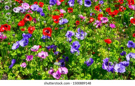 Colorful Anemones (windlower) in New Zealand.