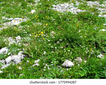 Colorful apine wild garden with white, yellow and pink blooming flowers in Julian alps, Slovenia