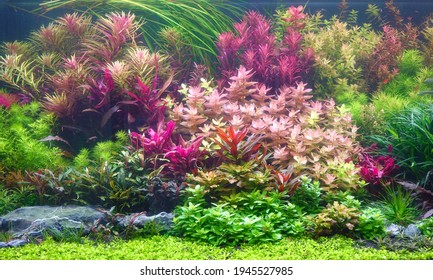 Colorful aquatic plants in aquarium tank with Nature and Dutch style aquascaping layout