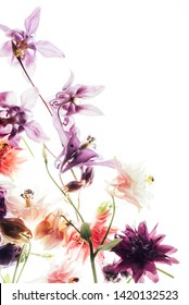 colorful aquilegia flowers on the white background