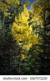 Colorful Arizona quaking aspen and pine forest in autumn along the Kachina Trail near Flagstaff.