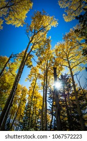 Colorful Arizona quaking aspen and pine forest in autumn along the Kachina Trail near Flagstaff. Looking into the sun.