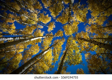 Colorful Arizona quaking aspen and pine forest in autumn along the Kachina Trail near Flagstaff. Looking straight up.