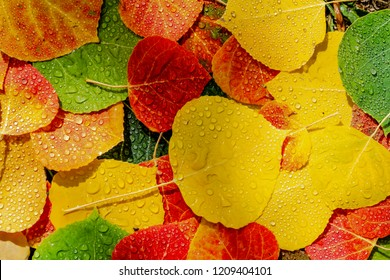 Colorful arrangement of fallen Aspen tree leaves laying on the ground in forest covered with water drops from the rain with spots of sunlight