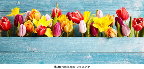 Colorful arrangement of fresh spring flowers with tulips and narcissus symbolic of the season in a gap between rustic blue wooden boards with copy space, panoramic banner or wide angle format