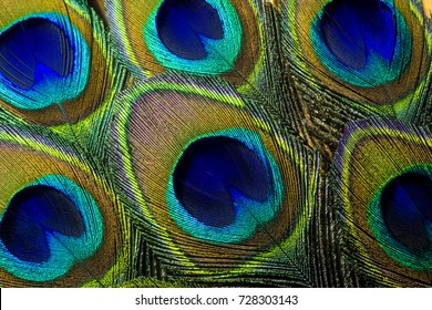 Colorful and Artistic Peacock Feathers.  This is a macro photo of an arrangement of luminous peacock feathers.
