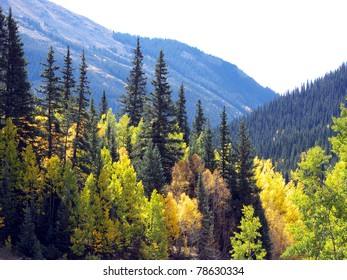 Colorful Aspen and Pine at high altitude in the Colorado Rocky Mountains