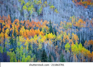 Colorful Aspen trees at the foot hill