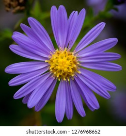 colorful aster, autumn rose