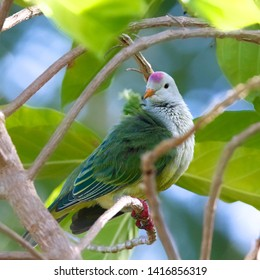 Colorful atoll fruit dove (Ptilinopus coralensis) resting on a branch, Ahe atoll, Tuamotu Islands, french Polynesia. It is endemic to this archipelago of the southern Pacific Ocean.