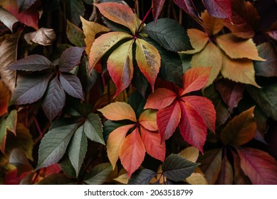 Colorful atumn leaves of virginia creeper covering the fence, the natural texture of multicolored fall vine leaves background, ivy wall background
