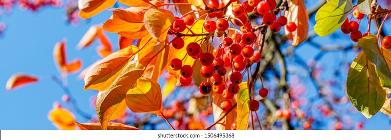 Colorful autumn background in park with yellow red leaves and red berry on blue sky background. Vivid golden fall in woodland. Sorbus alnifolia, Korean mountain ash plant. Sorbus alnifolia banner