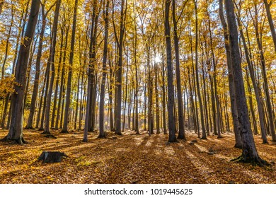 Colorful Autumn Beeches - Voderady Beechwood, Czech Republic