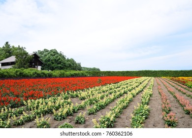 Colorful Autumn field with Scarlet sage flowers and Snapdragon flowers in bloom during summer season at Tomita farm, Furano town, Hokkaido, Japan.