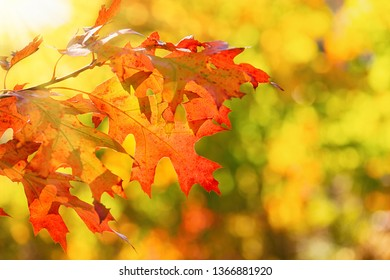 Colorful autumn foliage leaves on a tree branch. Golden yellow autumn background bokeh with copy space.