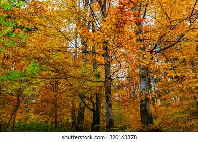 Colorful autumn forest landscape in the Carpathian mountains. Transylvania,Romania. Europe.
