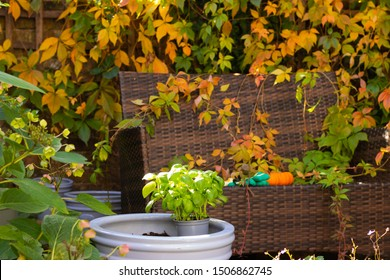 Colorful Autumn Garden at Sunset. Green basil lit by sunlight grows happily in a pot. Wooden Fence Full of Bright Change Color Leaves. Pumpkins and Garden Tools are on a Wicker Bench.