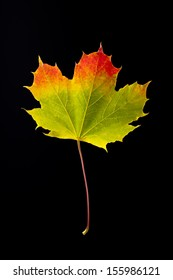 colorful autumn leaf of maple isolated on black