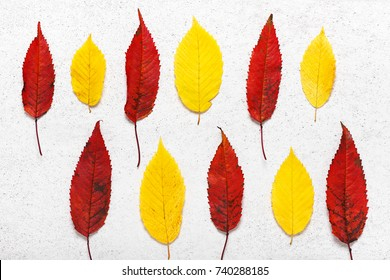 Colorful autumn leaves of bird cherry and hop hornbeam tree on the light stone background. Fall nature collage for herbarium. Top view.