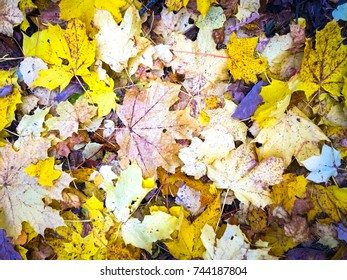 Colorful autumn leaves. Autumn leaves in forest ground. Color Foliage dew drops. Autumn Foliage in the grass. Autumn gold maple leaves in the grass. Natural Leaves falling dew drops on ground