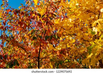 Colorful autumn leaves of a maple (Genus Acer) in sunlight in Berlin, Germany