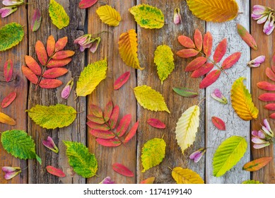 Colorful autumn leaves on old rustic wood background. Nature flat lay.