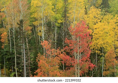 Colorful autumn leaves in the Utah mountains, USA.