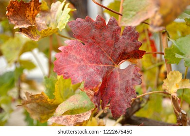 colorful autumn leaves in vineyard