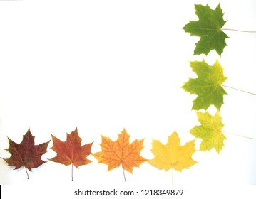 colorful autumn maple leaf isolated on white background. cold time