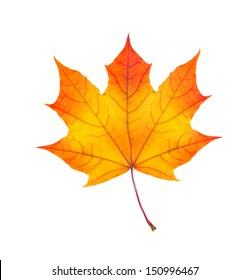 colorful autumn maple leaf isolated on white background