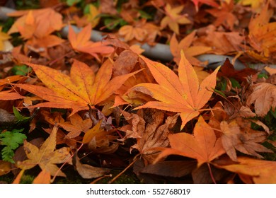 Colorful autumn maple leaf lies on the fall forest floor.