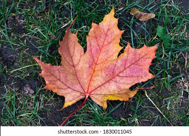 Colorful autumn maple leaf on the floor