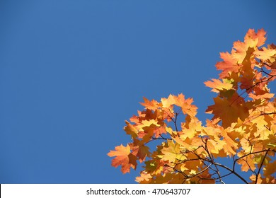 Colorful autumn maple tree branches against sky background