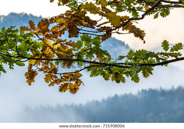 Colorful autumn oak leaves with blurred background from mountain foggy forests