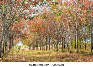 colorful autumn rubber tree in the morning sunrise.