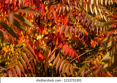 Colorful autumn staghorn sumac or velvet sumac (Rhus typhina) tree on a sky background