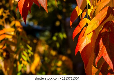 Colorful autumn staghorn sumac or velvet sumac (Rhus typhina) tree on a sky background. Frame composition.Copy space for text
