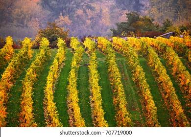 Colorful autumn in vine yards, Austria. Hills of Lower Austria. Wachau valley