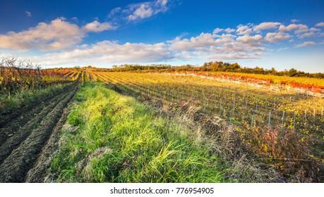 Colorful autumn vineyard in Carpathian mountain near Bratislava ,Pezinok, Slovakia